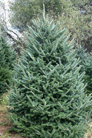 Abies Fraseri (Fraser Fir)