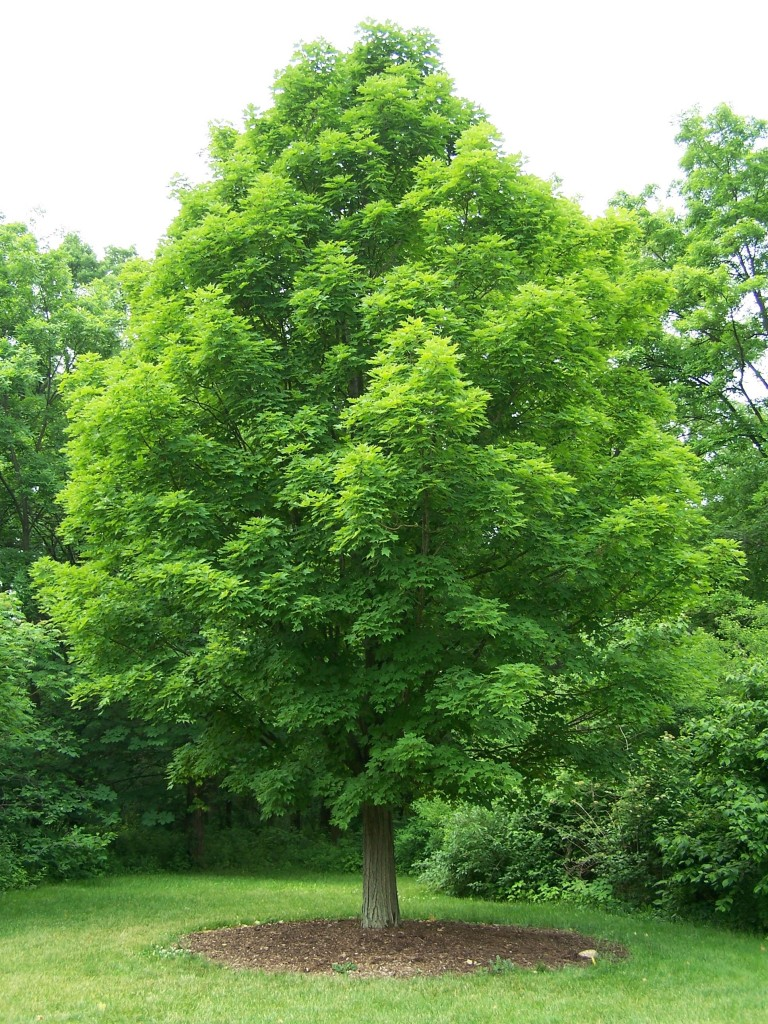 Acer Saccharum (Sugar Maple)