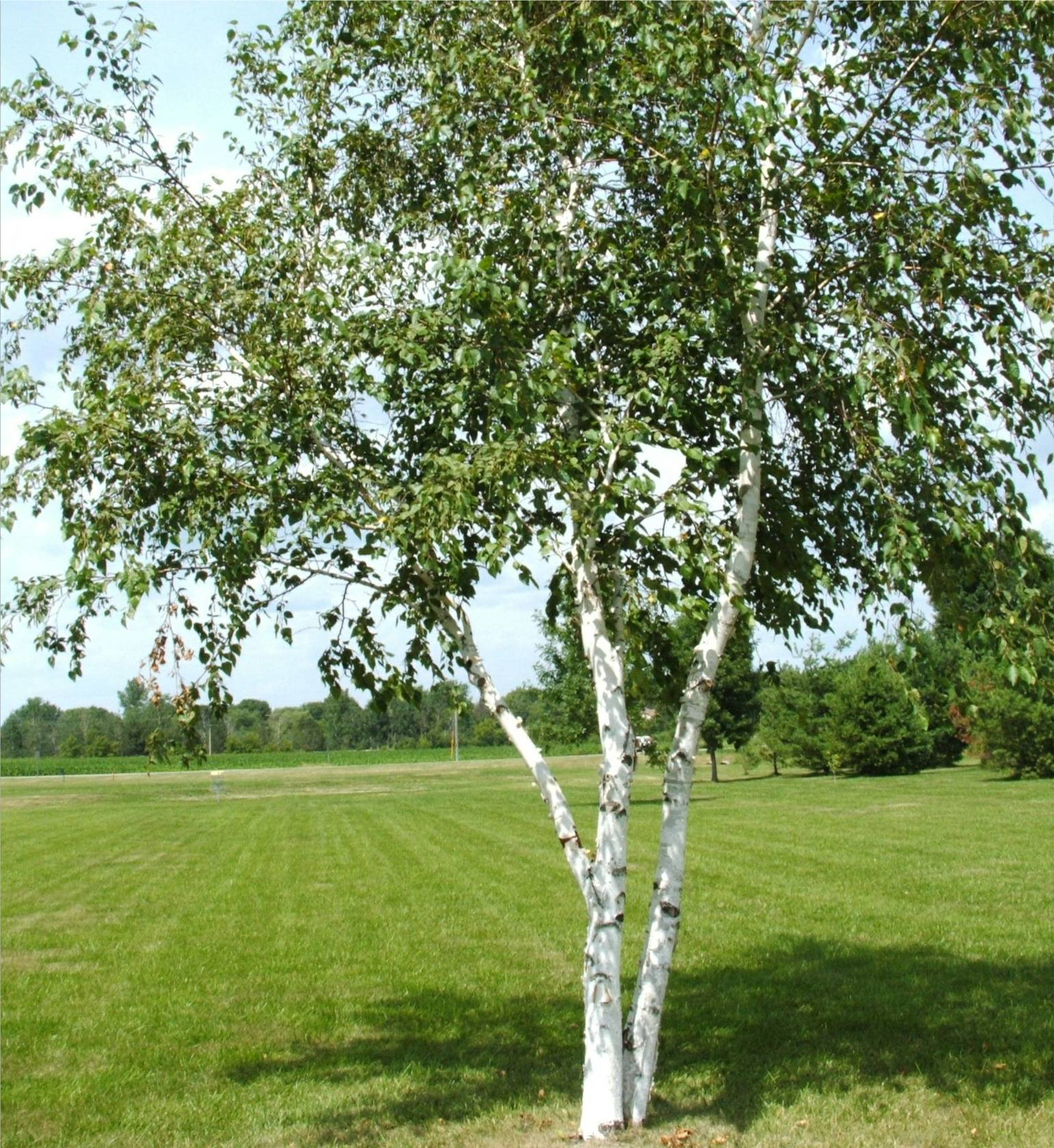 Paper Birch Trees