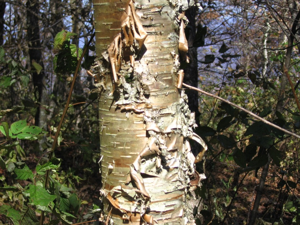 Betula Alleghenensis (Yellow Birch)