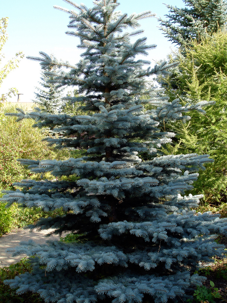 Picea Pungens Kaibab (Blue Spruce)