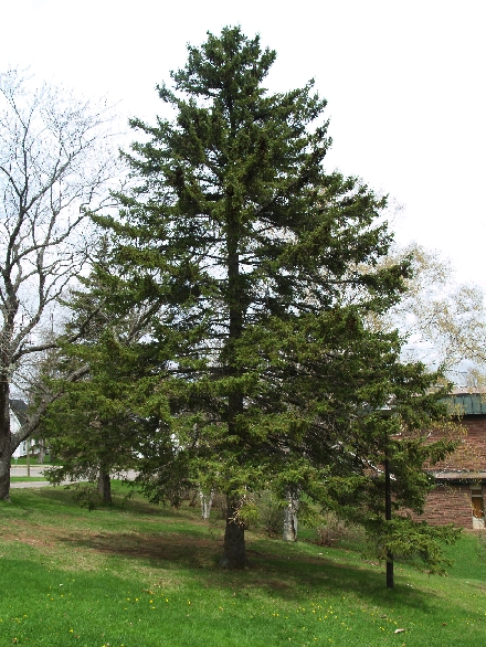 Picea Rubens (Red Spruce)