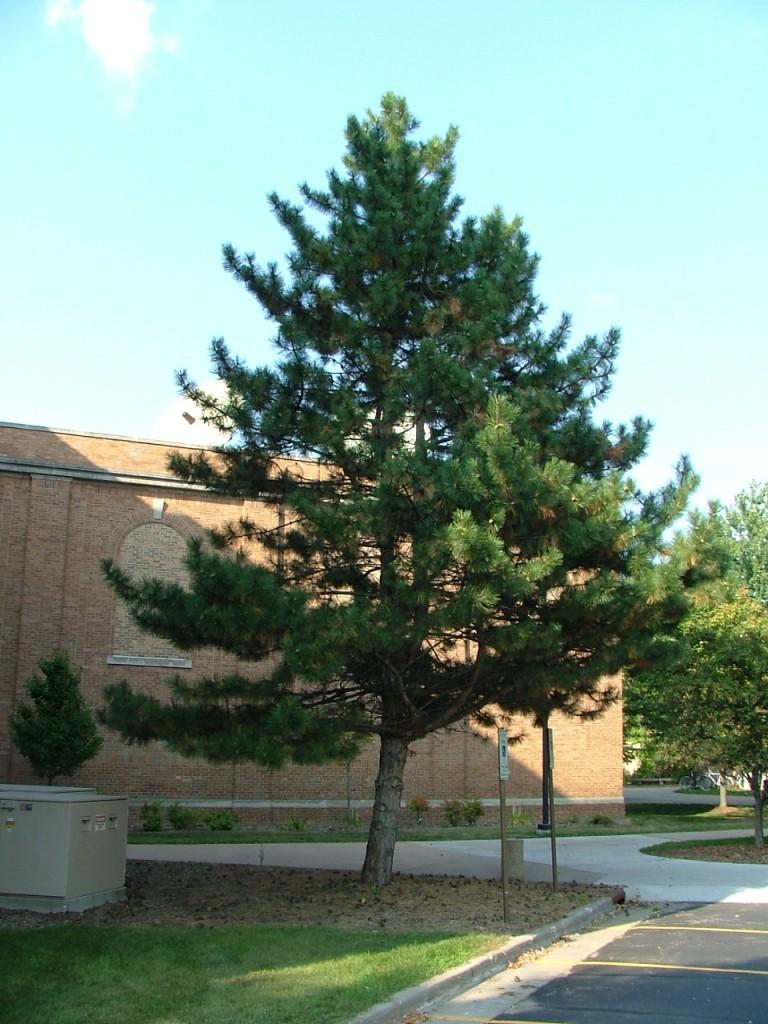 Pinus Nigra (Austrian Pine)