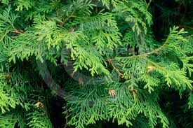 Thuja Occidentalis (Eastern White Cedar)