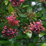 Viburnum cassinoides (Wild Raisin)